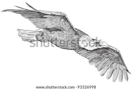 soaring eagle - sketch. Bitmap copy my vector - stock photo