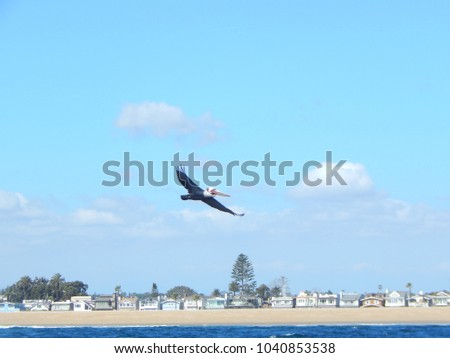 soaring pelican over a beach