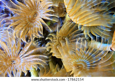 Social feather duster(Bispira Brunnea) feeding in the current on the coral reef od Roatan Honduras - stock photo