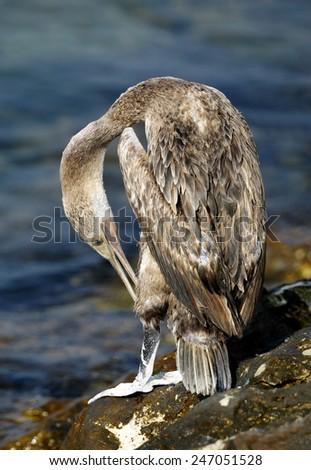Socotra cormorant etching - stock photo