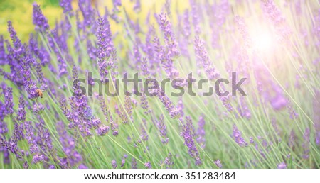 Soft and blur lavender field for banner and background
