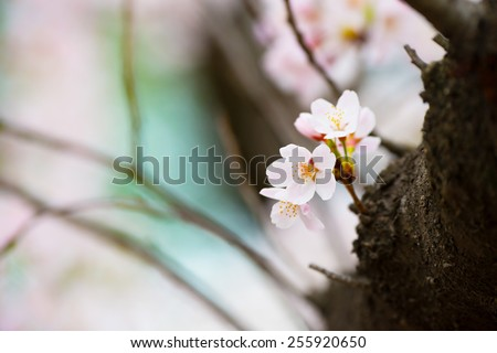Soft and tender cherry blossom (sakura) blooming near a tree branch, with pastel pink and blue (sky) background. Shallow depth of focus.   - stock photo