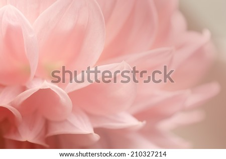 Soft background, light pink of Dahlia flower petals.