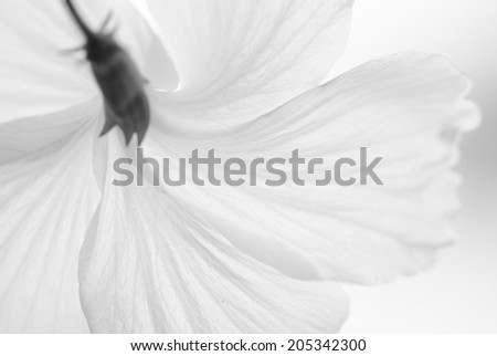 Soft background of white Chinese Rose or Hibiscus rosa in black and white.