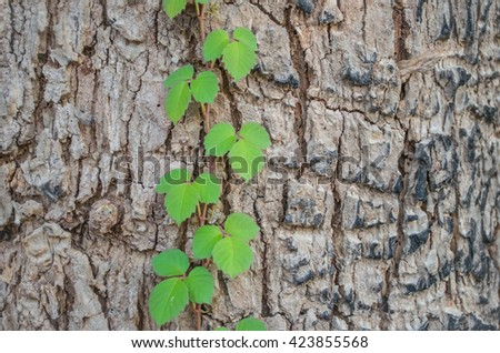 Soft blurred and soft focus  texture and the bark of old wooden green vine or ivy. - stock photo