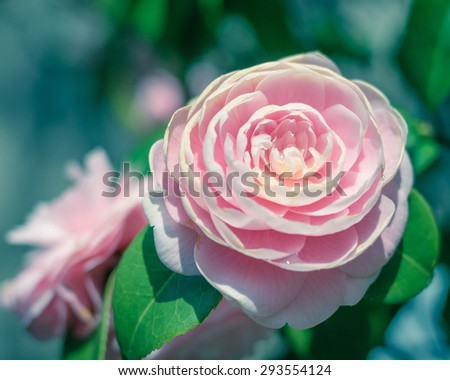 Soft blurred romantic antique style pink natural Japanese pale rose flower in old vintage color tone with blurry background - stock photo