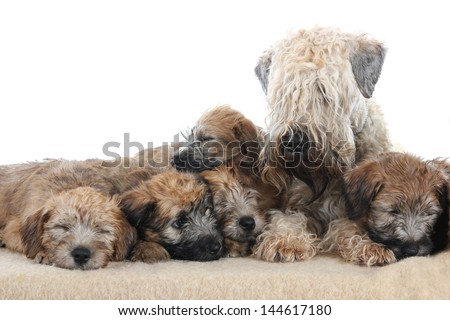 Soft Coated Wheaten Terrier puppies with mother