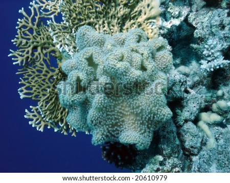 soft coral polyp with other corals - stock photo