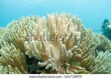 Soft coral _ Sarcophyton sp. - stock photo