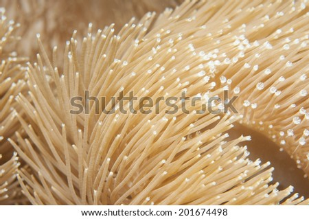 Soft coral  Sarcophyton sp. - stock photo