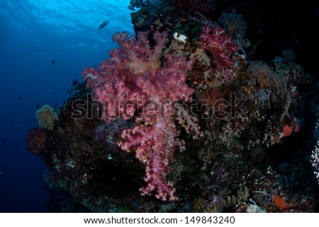 Soft corals (Dendronephthya sp.) grow along a reef drop off near a tropical island in the Solomon Islands.  This area is found within the Coral Triangle and is high biological diversity. - stock photo