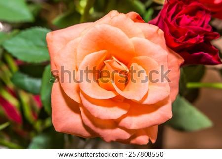 Soft creme orange rose - stock photo