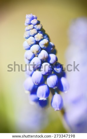 soft detail of a grape hyacinth. cross processed.