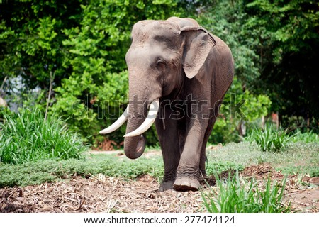 Soft focus Asian Elephant in the lush green grass.