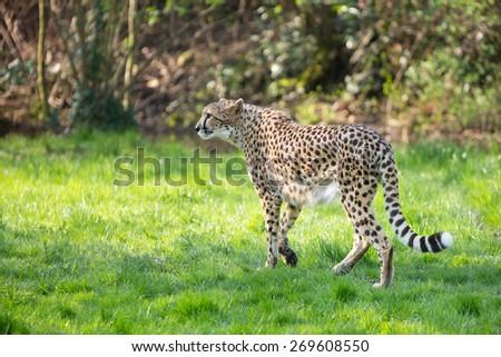 soft focus beautiful cheetah (Acinonyx jubatus) - stock photo