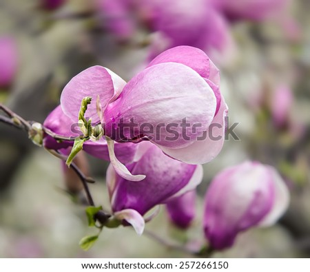 Soft focus image of blossoming magnolia flowers in spring time. Shallow DOF  - stock photo