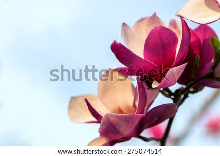 Soft focus image of blossoming magnolia flowers in spring time. Shallow DOF. Against blue sky.