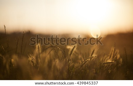 Soft focus image of Wall Barley in sunset