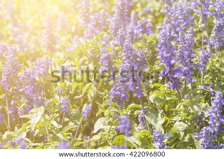 soft focus lavender  with sunlight - stock photo