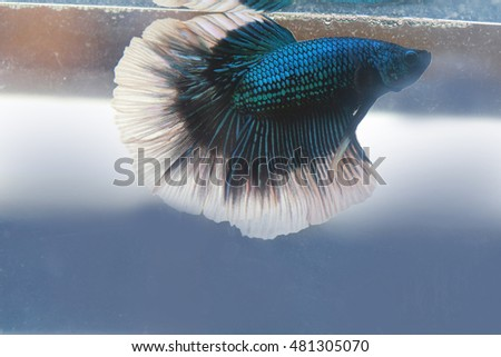 Silver betta fish stock images royalty free images for Fish tail fin