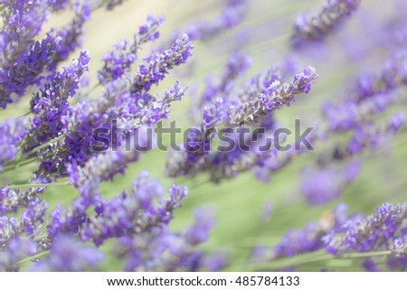 Soft Focus of Blue Salvia Lavender Flower Field and Blurred by the Wind in Summer Season for Texture Background Wallpaper