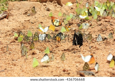 soft focus of colorful butterfly group eat salt in morning
