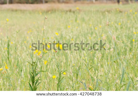 Soft focus of Crotalaria juncea flower with color filter ( Fabaceae, Leguminosae ) - stock photo
