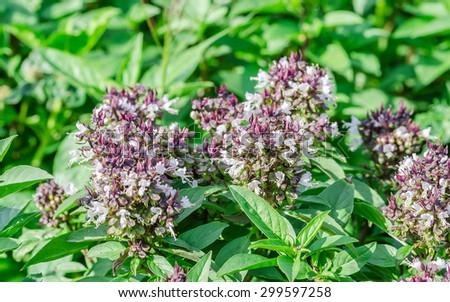 Soft focus of fresh basil is an herb in the garden. - stock photo