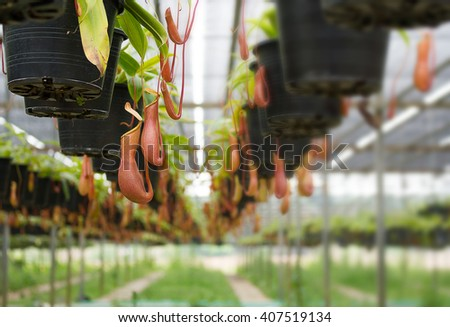 Soft focus of Tropical pitcher plants  in Greenhouse plantation. - stock photo