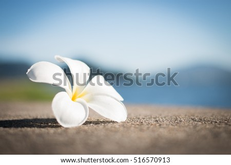 Soft focus of White Frangipani flower, Plumeria flower on concrete surrounded blurry natural background.