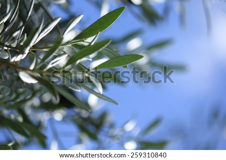 Soft Focus Olive tree leaves with blue sky background 2 - stock photo