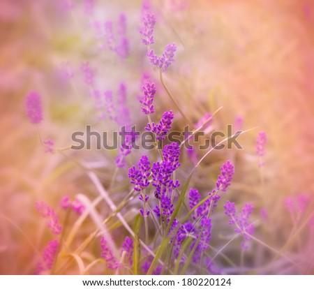 Soft focus on beautiful lavender  - stock photo