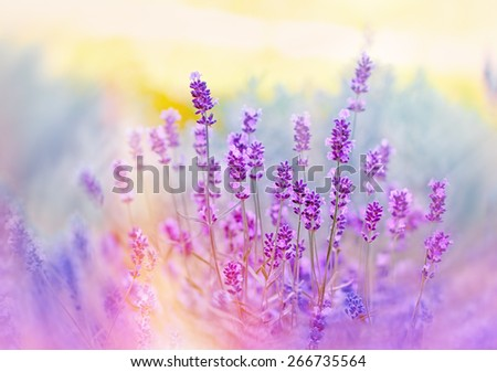 Soft focus on beautiful lavender flowers - stock photo
