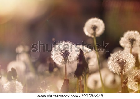 Soft focus on dandelion seeds - stock photo