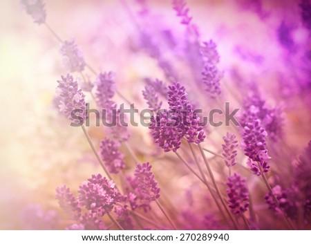 Soft focus on lavender flower - stock photo