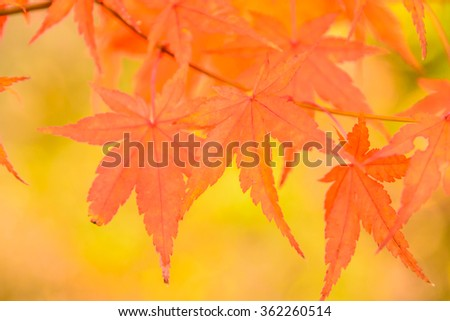 Soft focus on Maple leaf in the park at Japan - High Boost up color processing