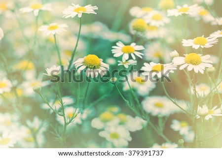 Soft focus on wild chamomile flower (daisy flower)