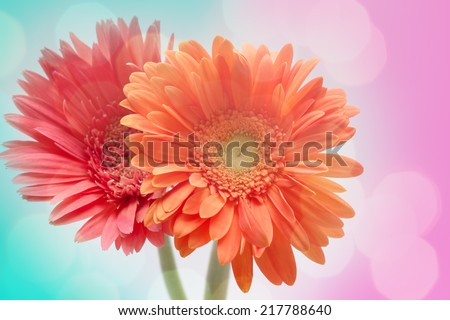Soft focus photo gerbera flower made with pastel tones