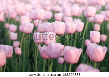 Soft focus photo of pastel pink tulips flowerbed