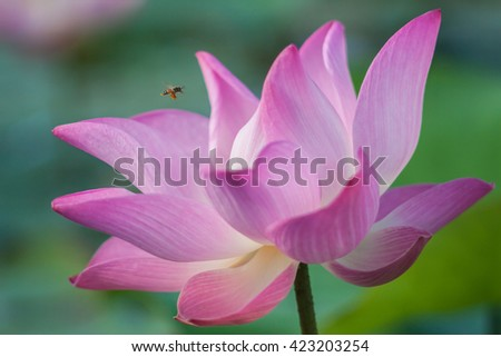 Soft focus Pink lotus with blur background