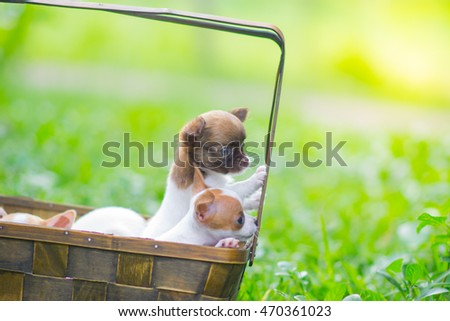 Soft Focus,Portrait  Chihuahua puppies in basket .