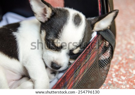 soft focus , selective focus area ,sleeping chihuahua puppy dog - stock photo