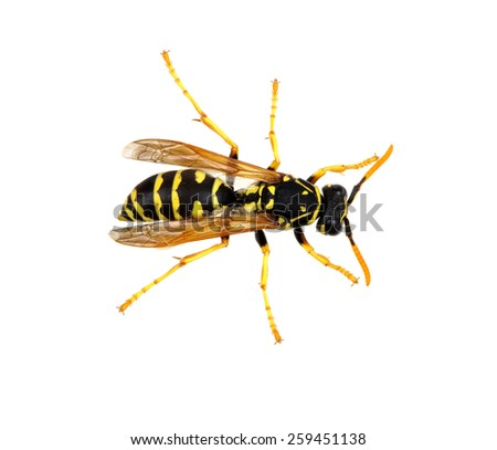 soft focus wasp isolated on white background - stock photo
