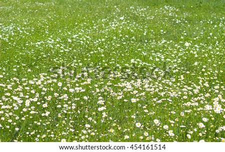 Soft focus white daisy flowers in a green fields background / Beautiful spring meadow blooming daisies on the green grass / Daisy flower background. - stock photo