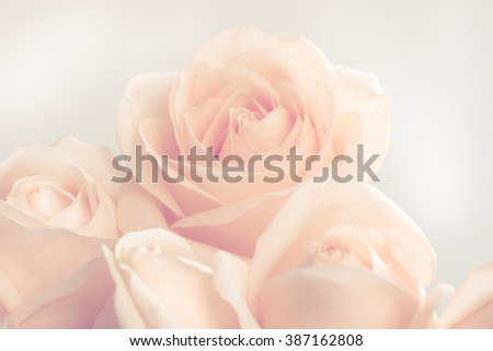 Soft full blown beige roses as a neutral background for wedding.  Toned and selective focus. - stock photo