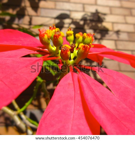 Soft Landscaping - Macro View Poincettia Flower (Flowering) - stock photo