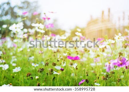 Soft Light Background of DeFocus Cosmos Flower Field Blurred From the Wind Background Texture - stock photo
