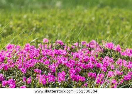 Soft outdoor floral background with rhododendron, selective focus - stock photo