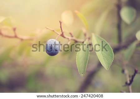 Soft photo of a blue sloe berry, detail - stock photo