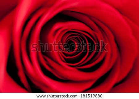 Soft red rose.Macro. - stock photo